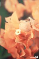 Orange Flowers by ChOkRi-AchRaF