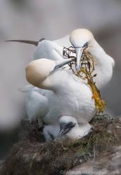 Gannet Family by FForns