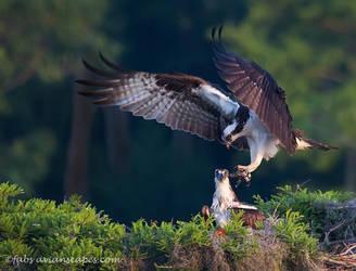 Osprey Pair by FForns