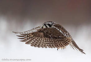 Hawk Owl by FForns