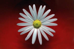 Daisy on red by Grayda