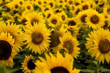 Sunflowers by Grayda