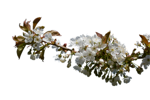 Appel Blossom by CindysArt-Stock by CindysArt-Stock