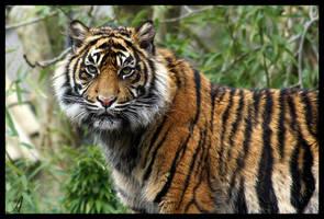 Tiger 02 by Alannah-Hawker