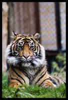 Tiger 04 by Alannah-Hawker