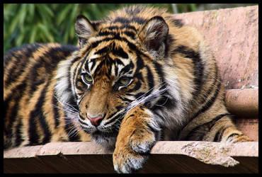 Tiger 11 by Alannah-Hawker