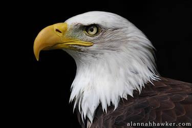 Bald Eagle by Alannah-Hawker