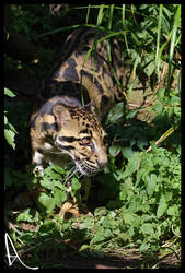 Clouded Leopard by Alannah-Hawker