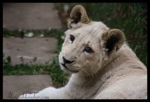 White Lion cub 03 by Alannah-Hawker