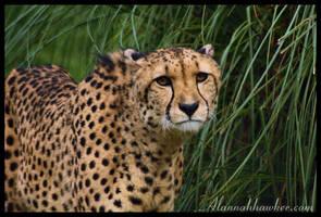 Cheetah 04 by Alannah-Hawker