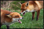 Foxes by Alannah-Hawker