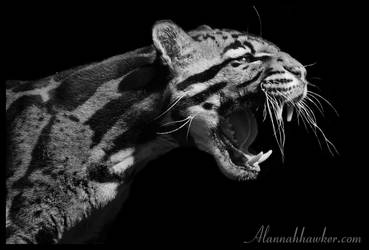 Clouded Leopard 03 by Alannah-Hawker