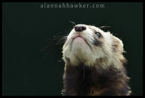 Polecat 02 by Alannah-Hawker