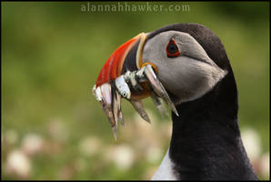 Puffin 02 by Alannah-Hawker