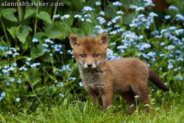 Fox Cub 01 by Alannah-Hawker
