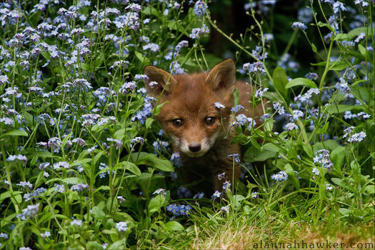 Fox Cub 03 by Alannah-Hawker