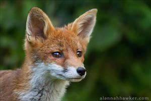 Fox Cub 10 by Alannah-Hawker