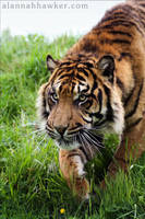 Tiger 23 by Alannah-Hawker