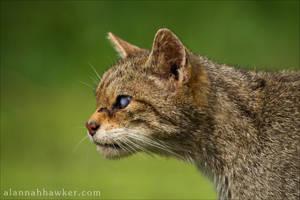 Wildcat 03 by Alannah-Hawker