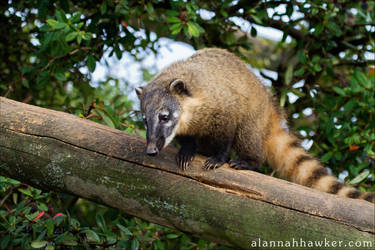 Coati by Alannah-Hawker