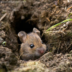 Little mouse by Alannah-Hawker