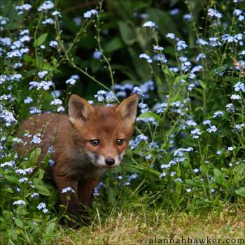 Fox Cub 19 by Alannah-Hawker