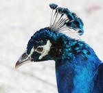 Indian Peafowl by flowerhippie22