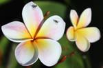 Plumeria by flowerhippie22