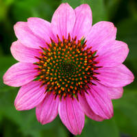 Echinacea by flowerhippie22