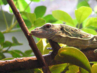 Lizard by rapunzell