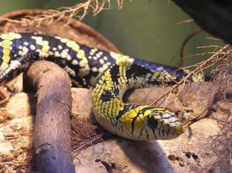 Tiger Rat Snake by rapunzell