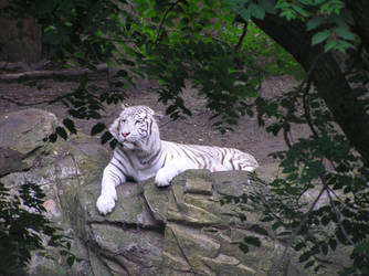 White Tiger 2 by rapunzell