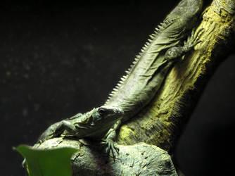 Iguanas by rapunzell