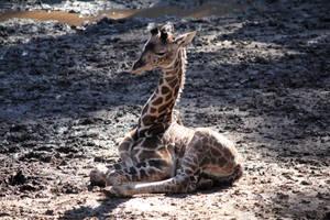 Baby Giraffe by firenze-design