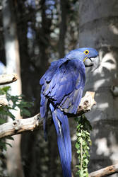 Blue Macaw 2 by firenze-design