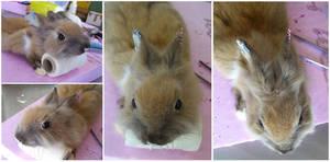 WIP Cinnamon grey bunny softmount by DeerfishTaxidermy