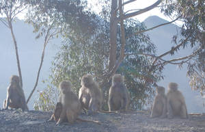 Baboons in the Wild by moonhare77