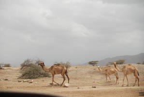 Camels of Eritrea by moonhare77