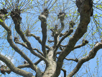 London Plane Tree by moonhare77