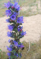Viper's Bugloss by moonhare77
