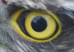 Raptor Eye by moonhare77