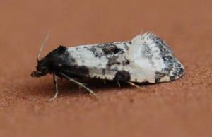 Cochylis atricapitana by moonhare77