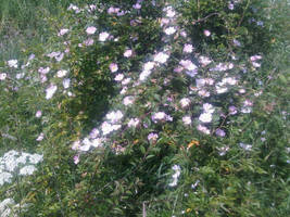 A Wild Rose Bush in Bloom by moonhare77