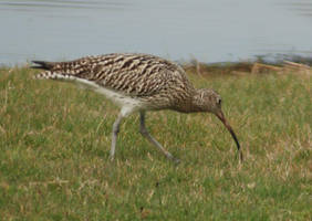 Curlew by moonhare77