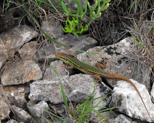 Sicilian Wall Lizard by Faunamelitensis