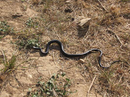 Wesern Whip snake on the move by Faunamelitensis