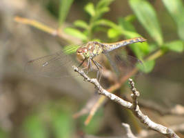 Common Darter Female by Faunamelitensis