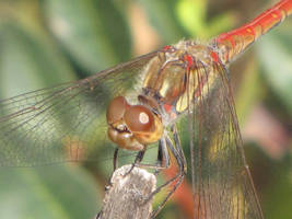 Common Darter Male close up by Faunamelitensis