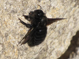 Carpenter Bee by Faunamelitensis