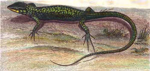 Early illustration of A Maltese  Wall lizard by Faunamelitensis